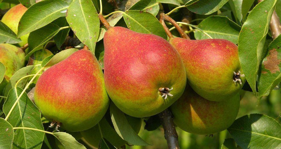 Recipe main pears 1327004