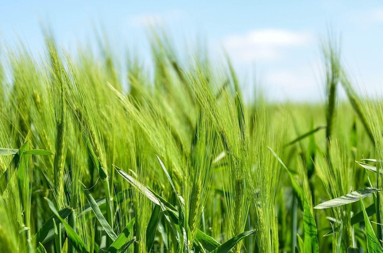 Barley 872000 1280